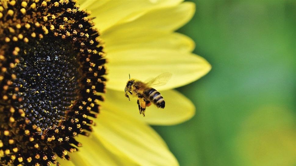Sonnenblume für Bienen